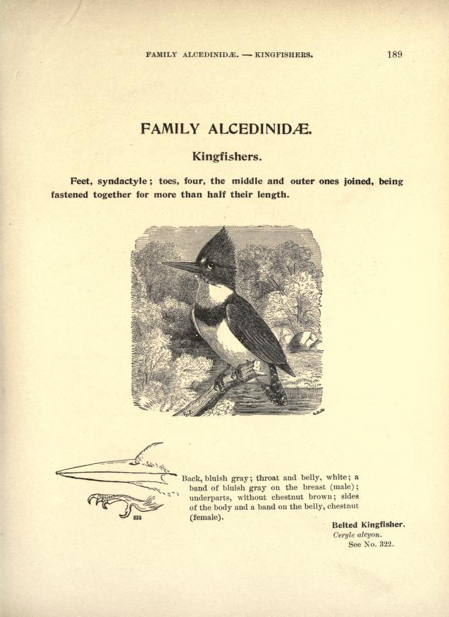 Page introducing family Alcinidae, with text and a black and white illustration of a belted kingfisher